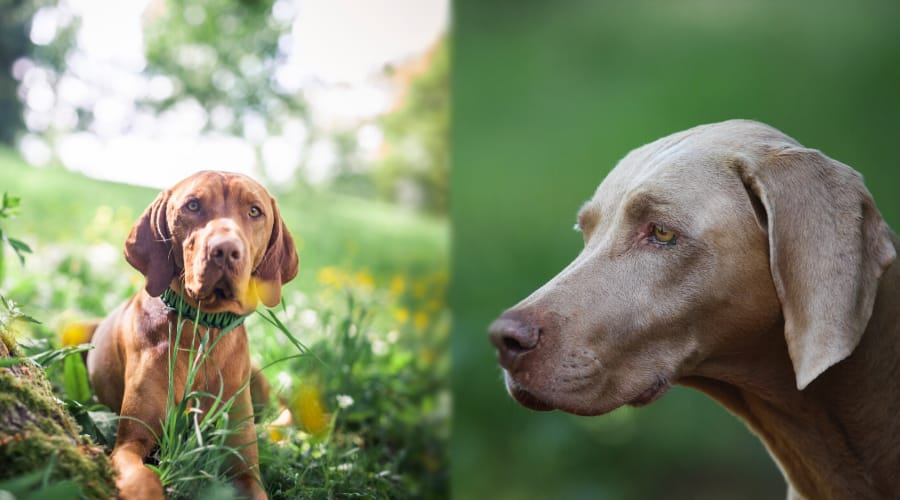 Vizsla vs Weimaraner Appearance Comparison