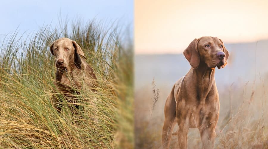 Vizsla vs Weimaraner Comparison