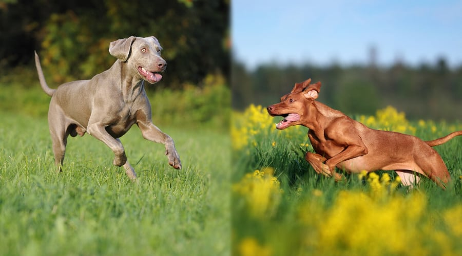 Vizsla vs Weimaraner Health Comparison