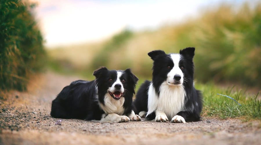 Border Collie Coat Type