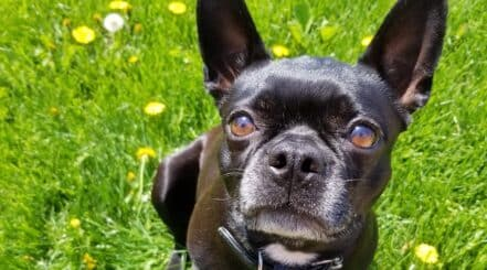 French Bulldog Mix