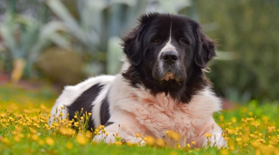 Saint Bernard Newfoundland Mix in Grass and Flowers