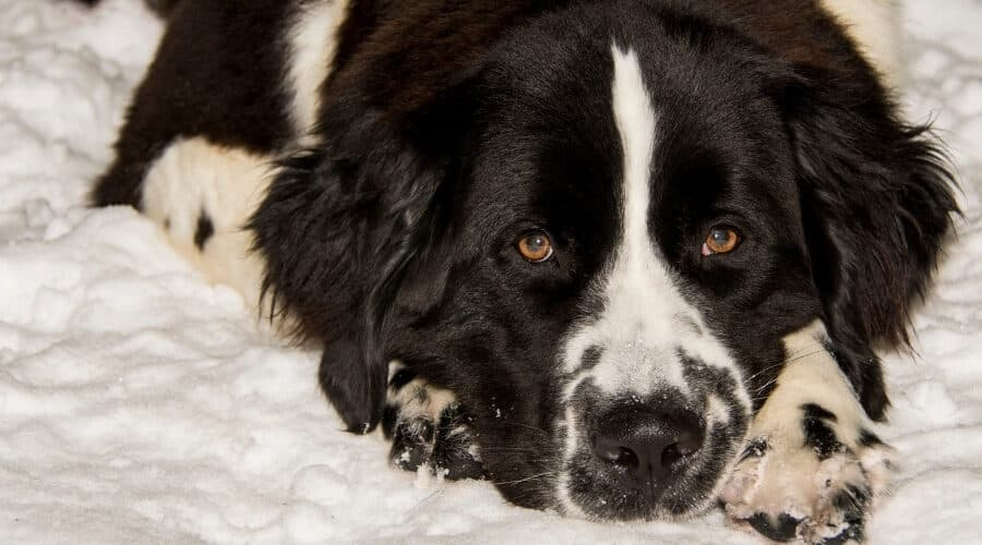 Saint Bernard Newfoundland Mix in Snow