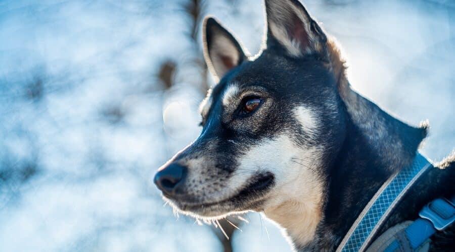 Shiba Inu Mix Breed Dog