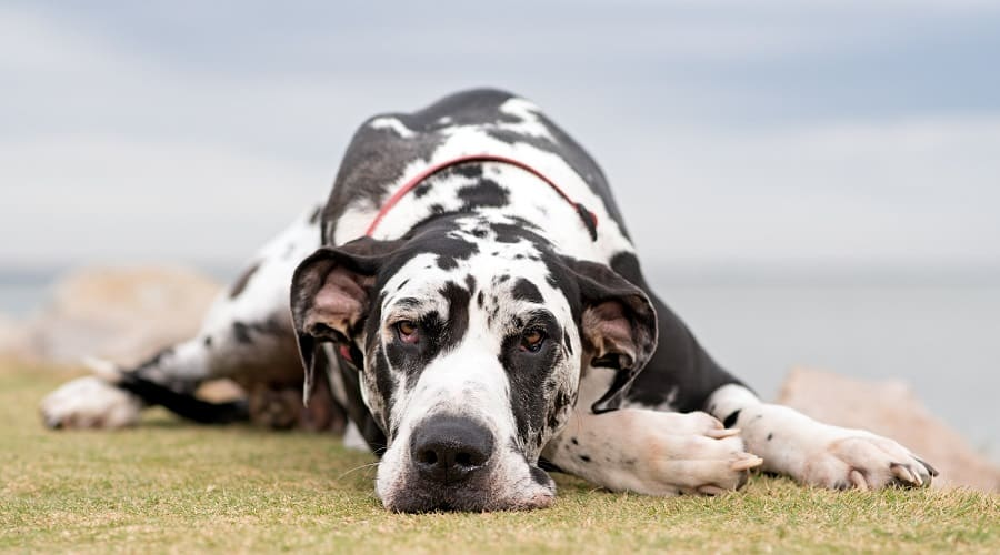 Great Dane Adult Laying Down