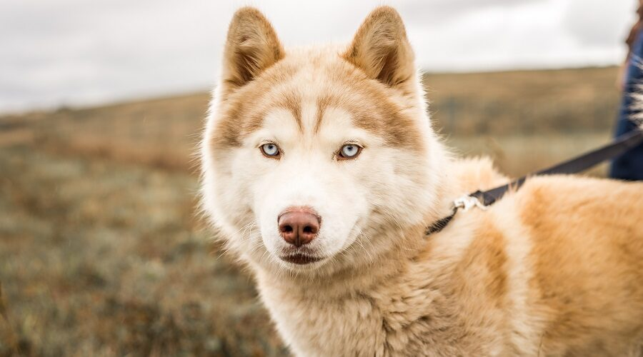 Alaskan Malamute Husky Mixed Breed