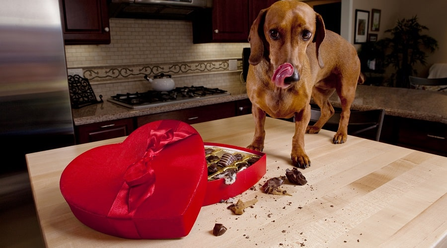 Dog Eating Chocolate Candy