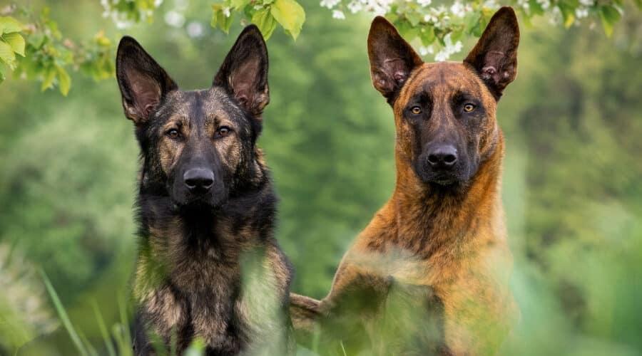 Dutch Shepherd and German Shepherd Outdoors