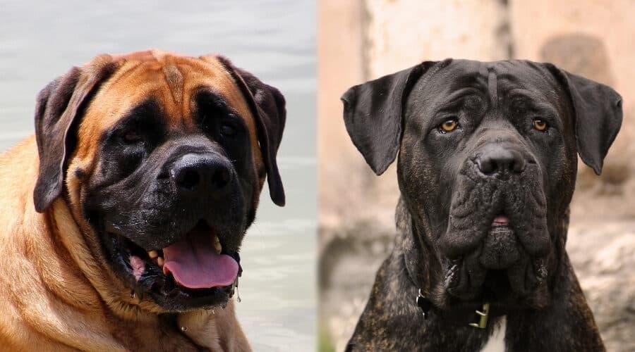 English Mastiff Comparison Cane Corso