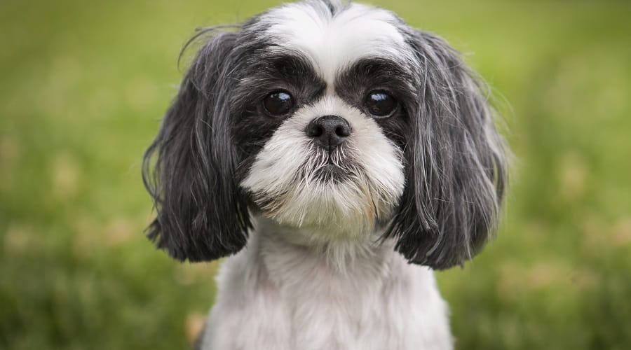 Shih Tzu Dumbest Dog Breed