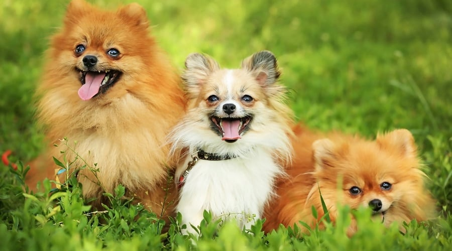 Small Fluffy Pomeranians