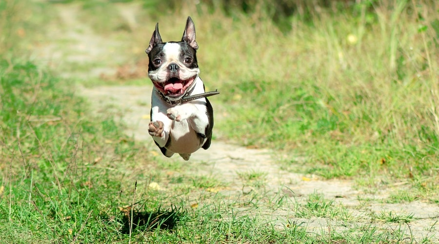 Adult boston terrier running for food