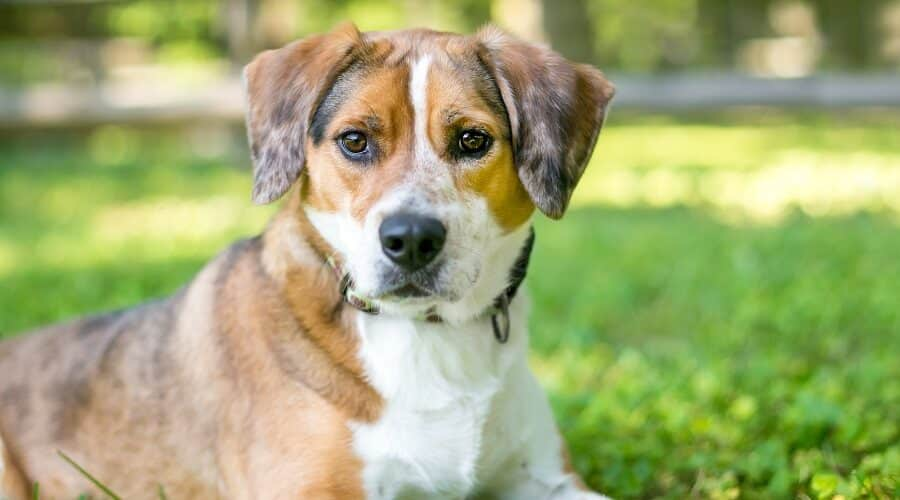 Beagle Border Collie Mix
