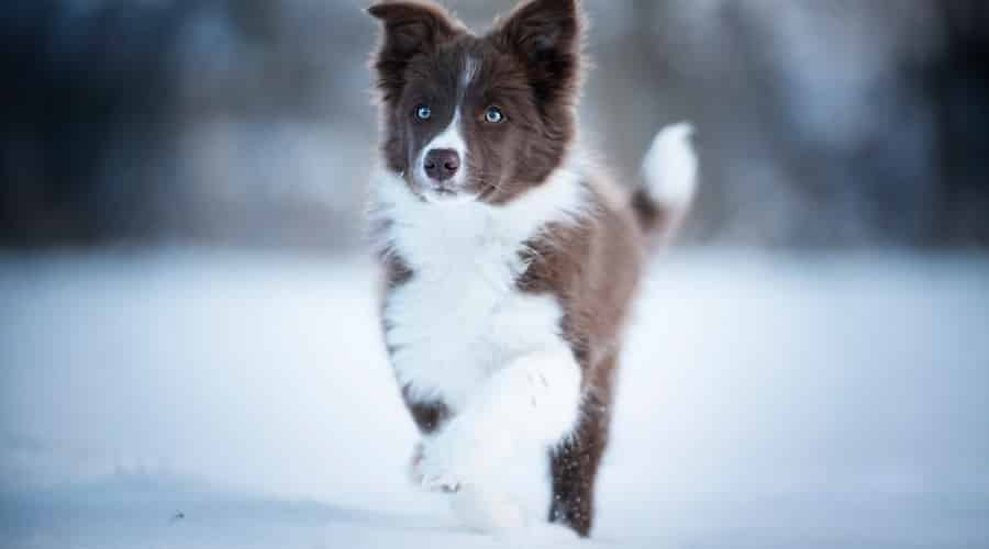 Border Collie Playing in Snow