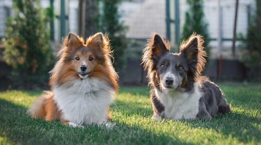 Border Collie and Sheltie Together on Grass
