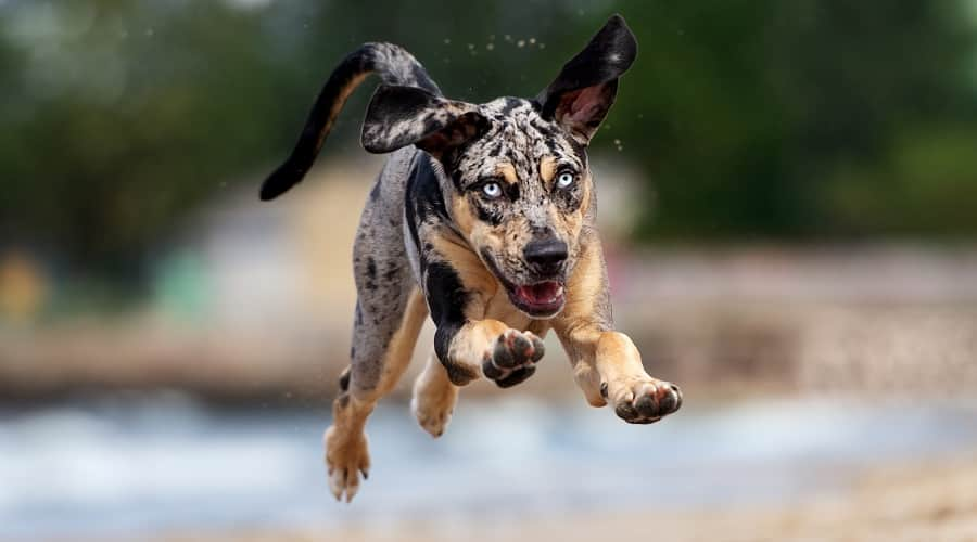 Catahoula Dog Jumping