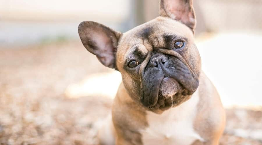 French Bulldog with Head Tilted