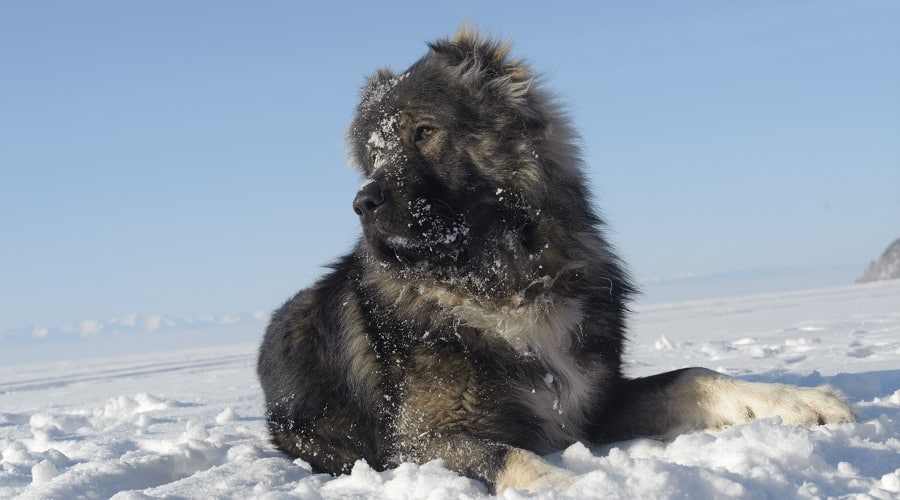 Giant Breed Puppy in Snow