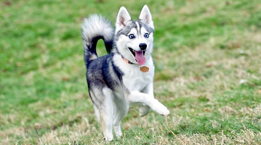 Klee Kai Dog Running