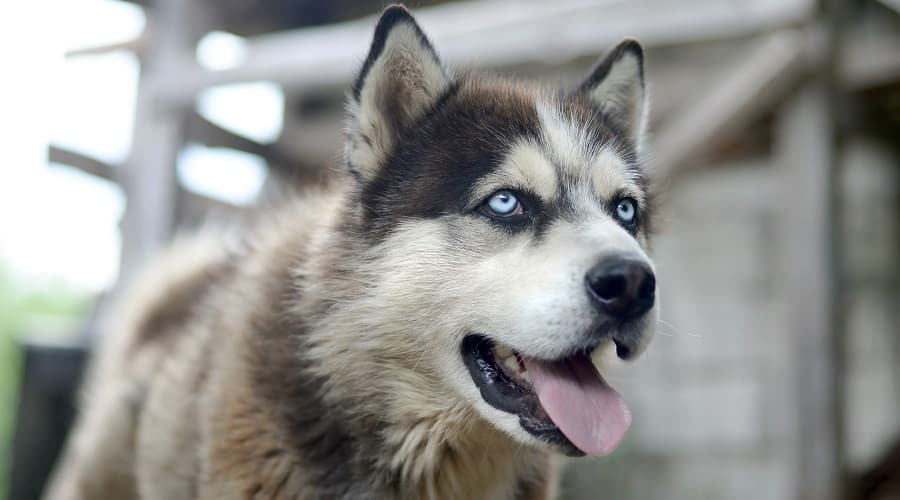 Malamute with Blue Eyes