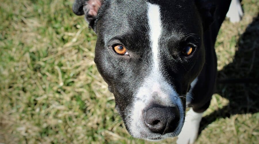 Pitbull Border Collie mix