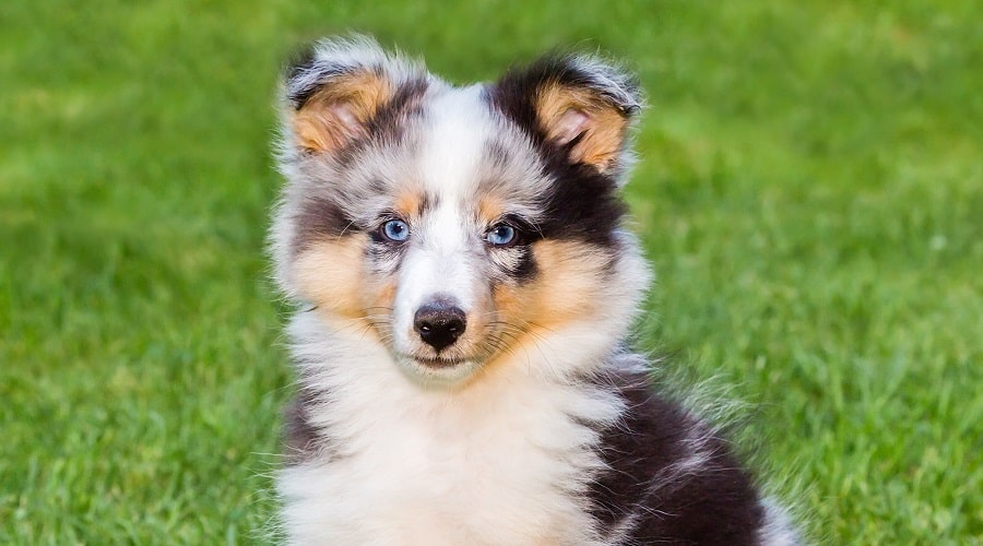 Sheltie Dog Blue Eyes
