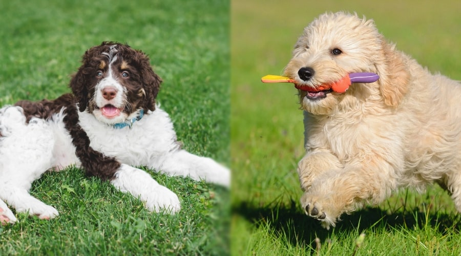 Bernedoodle and Goldendoodle Playing