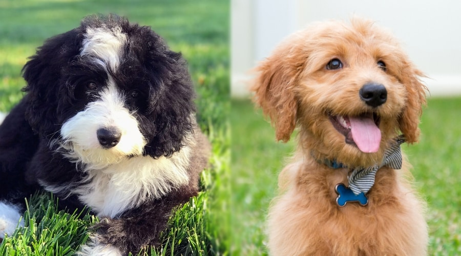 Bernedoodle and Goldendoodle Puppies