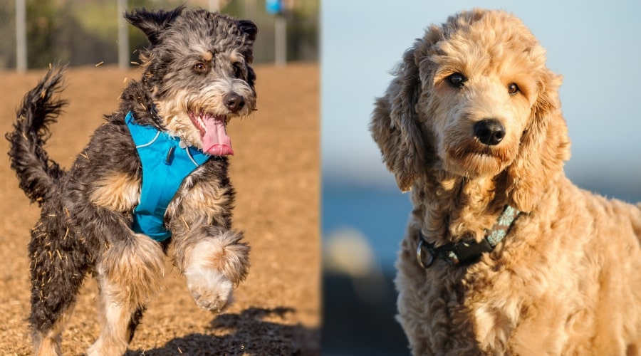 Goldendoodle compared to Bernedoodle appearances