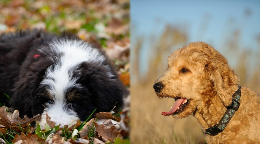 Healthy Bernedoodle and Goldendoodle