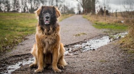 Big Dog Sitting on Road