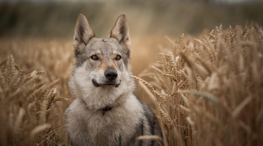 Kugsha Dog Breed in Field