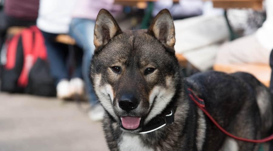 Shikoku Dog on Leash