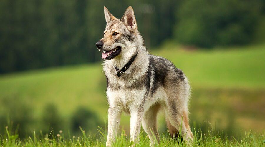 Wolf Like Dog Breed in Meadow