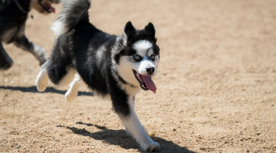 Food motivated Pomsky running on dirt