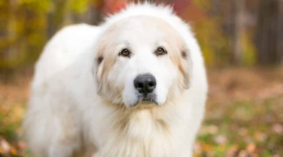 Giant Great Pyrenees Dog