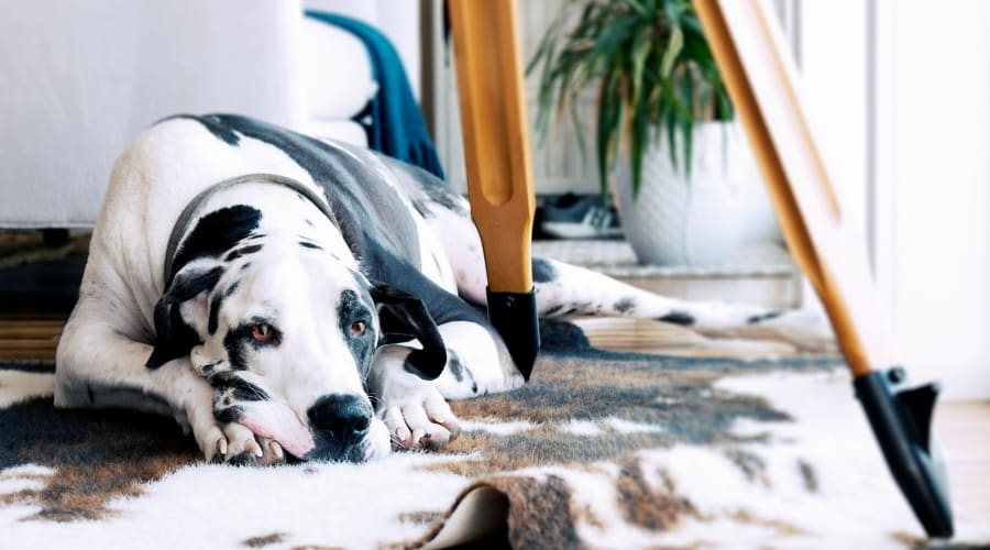 White and Black Dog Laying on Floor