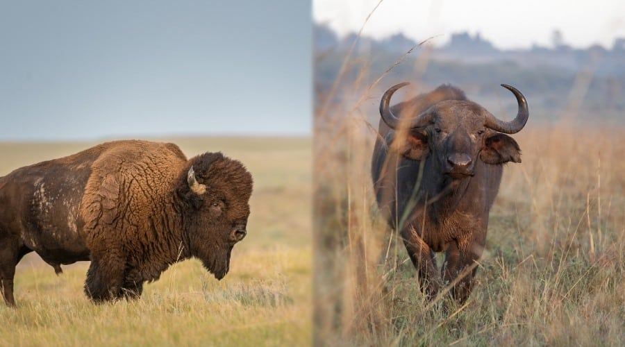 Bison vs Buffalo in Food