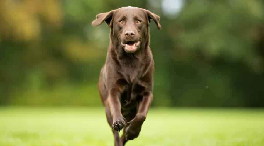 Brown Labrador Running in Grass
