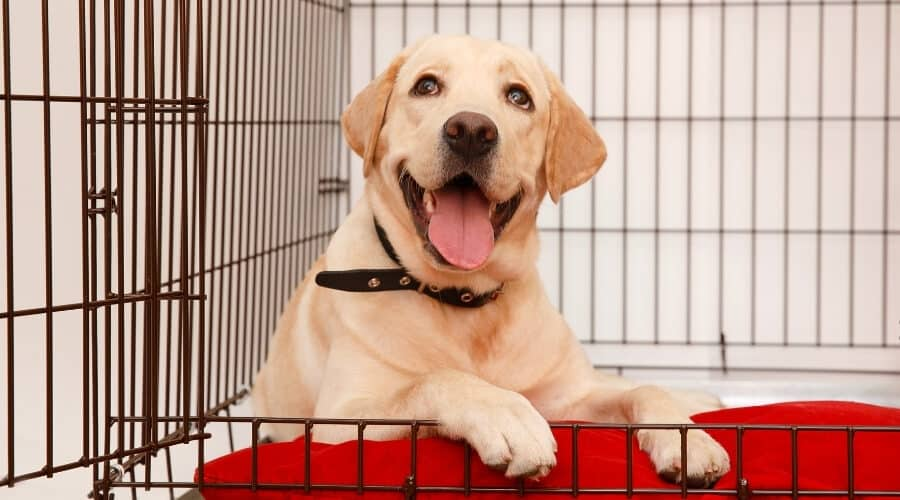 Labrador inside Dog Crate