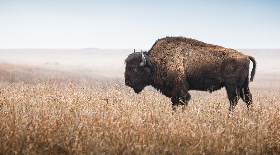 Nutritional Benefits of Bison