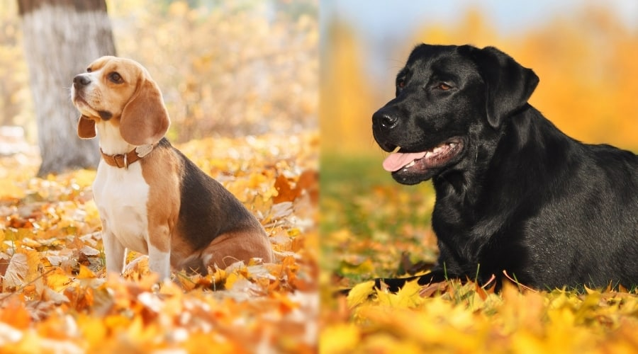 Two Dogs Outside in Autumn Leaves