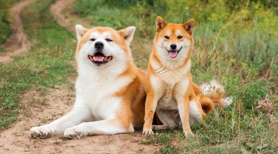 Akita and Shiba Inu in Field