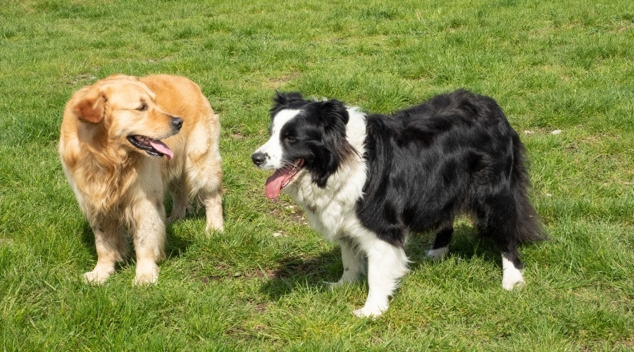 Two Healthy Dogs Outdoors Playing