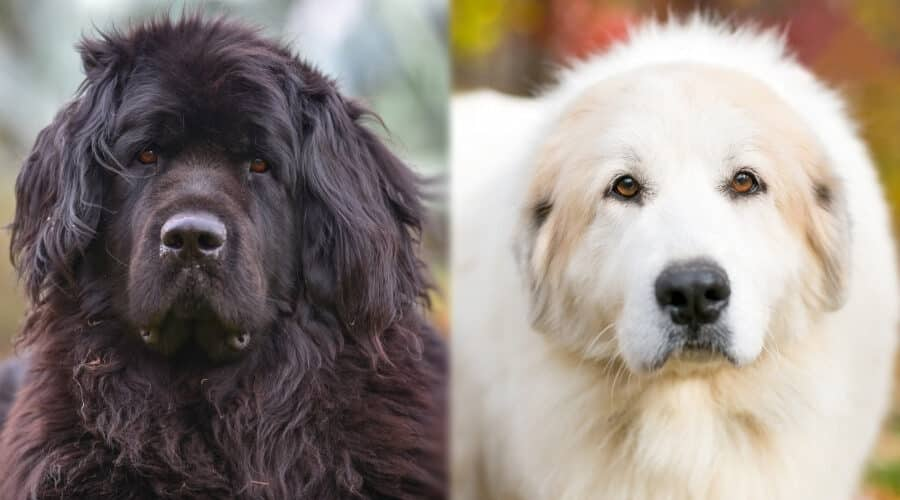 Newfoundland vs Great Pyrenees Dog