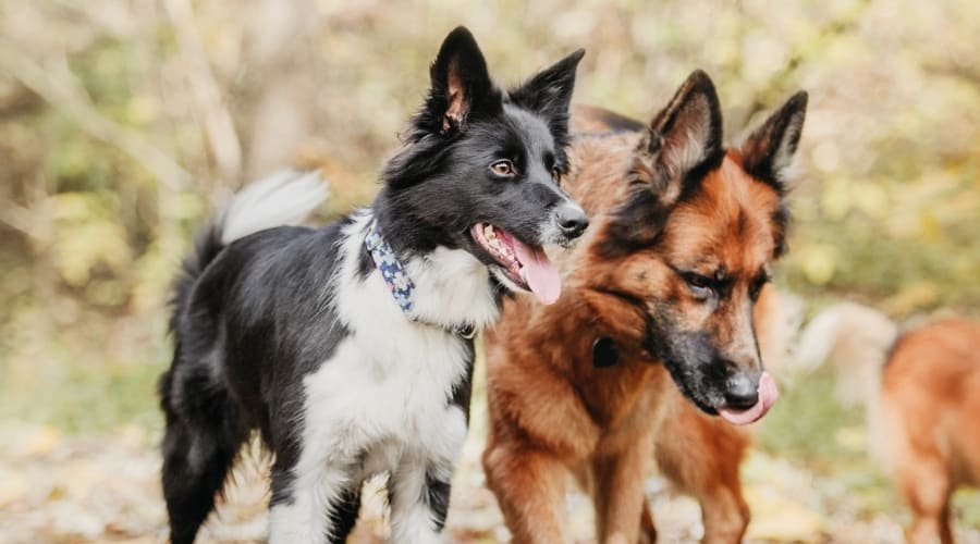 Two Dogs Walking Together Outdoors in Fall