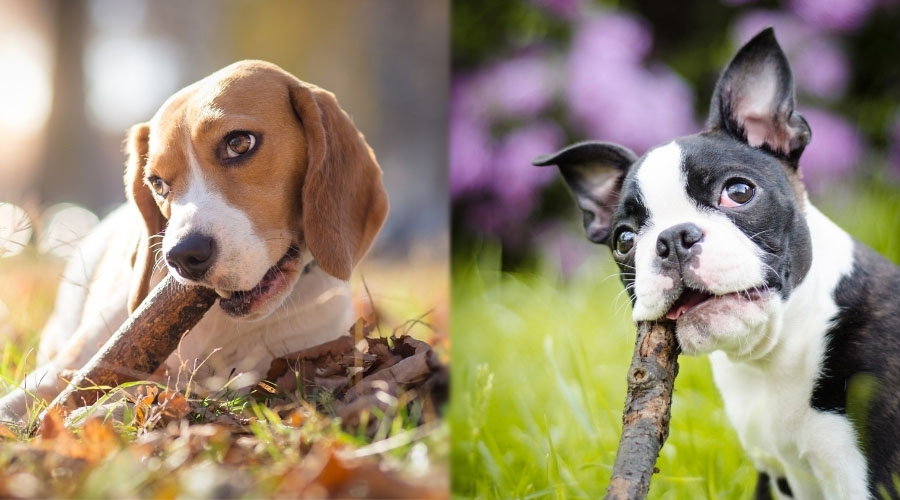 Cute Dogs Chewing on Sticks