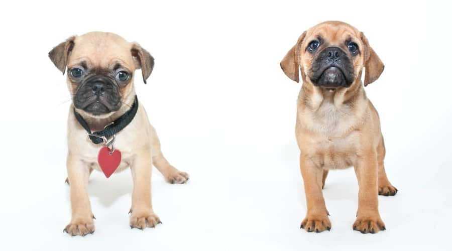 Cute Puppy Dogs on White Background
