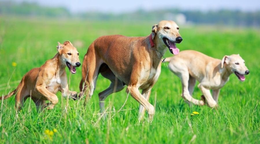 Three Slender Tan Dogs Running in Grass